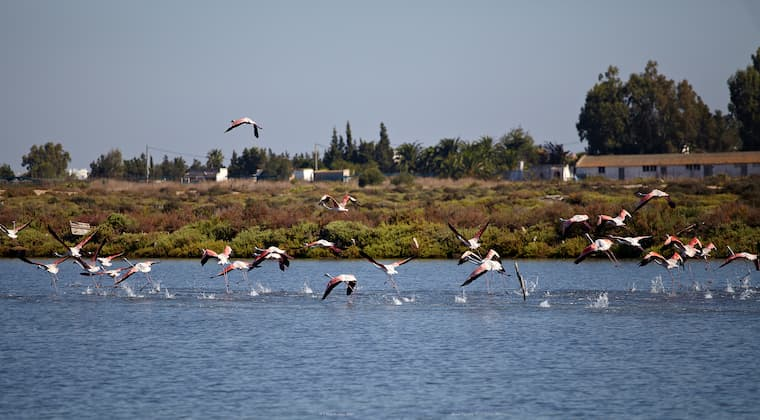 Flamingos im Chiclana Teich Andalusien