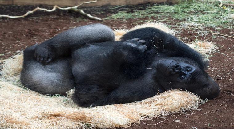 Gorilla chillt im Zoo Hannover