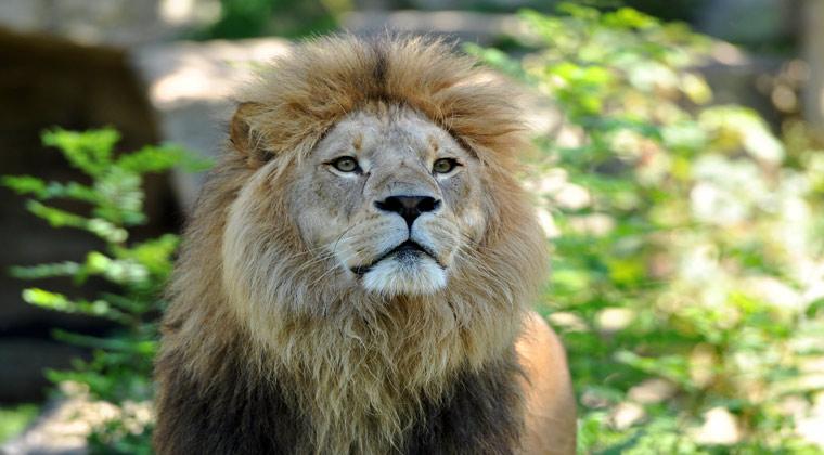 Zoo Hellabrun München ein Löwe