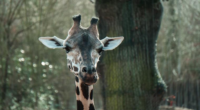 Zoos in Deutschland eine Giraffe
