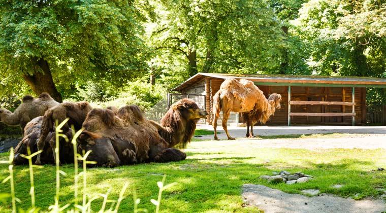 Zoos in Deutschland mehrere Kamele