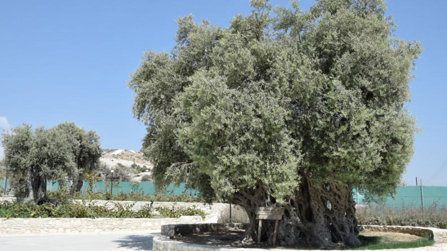 Ältester Olivenbaum Zyperns